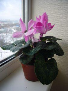 Houseplants in Bloom
